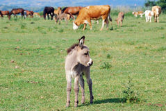 Ittle donkey on pasture Royalty Free Stock Image