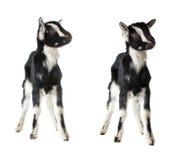 Ittle goat isolated Royalty Free Stock Photos