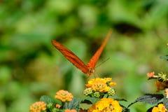 Iulia del Dryas della farfalla Immagine Stock Libera da Diritti