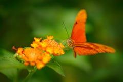 Iulia Dryas, η συλλαβισμένη Julia heliconian, στο βιότοπο φύσης Έντομο της Νίκαιας από τη Κόστα Ρίκα στο πράσινο δασικό πορτοκαλί στοκ εικόνες