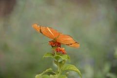 Iulia dryas πεταλούδων Στοκ Φωτογραφία