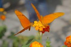 Iulia Dryas бабочки Джулии стоковое изображение