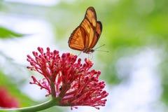 Iulia tropicale del Dryas della farfalla di Julia che si alimenta e che riposa sul flusso Fotografie Stock Libere da Diritti