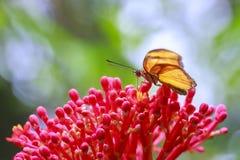 Iulia tropicale del Dryas della farfalla di Julia che si alimenta e che riposa sul flusso Fotografia Stock Libera da Diritti
