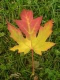 iv叶子槭树 图库摄影