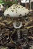 iv蘑菇 库存照片