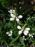 Iva. A beautiful white flower in the garden royalty free stock photography