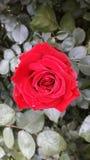 Iva. Crvena prelepa ruza prolece stock images