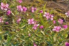 Ivan-τσάι λουλουδιών στοκ εικόνες με δικαίωμα ελεύθερης χρήσης