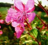 Ivan-τσάι λουλουδιών, angustifolium Chamerion Στοκ εικόνα με δικαίωμα ελεύθερης χρήσης