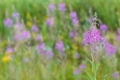 Ivan flower tea (Chamerion angostifolium) on field background Royalty Free Stock Image
