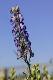 Ivan-tea flower. Stock Photos
