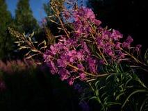 Ivan-thé 9 de fleur de pré image libre de droits