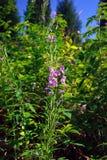 Ivanchai (sortie de floraison) Images stock