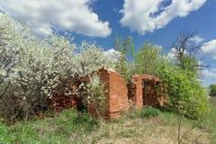 Ivanovo region, Rosja - Maj 09 2016 Ruiny zaniechany ceglany dom wiejski w wiośnie wśród rozbrykanego kwiecenia Obrazy Stock