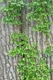 Ive on bark (background) Stock Photo
