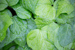 Ivies (hedera) with raindrops Stock Photography