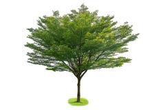 Ivorensis Terminalia, изолированное дерево на белой предпосылке стоковые изображения