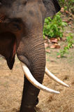 Ivory of asia elephant Royalty Free Stock Photos