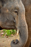 Ivory of asia elephant. Nature of the Asian ivory It is the elephant tooth Stock Photography
