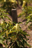 Ivory bell pepper grows in a vegetable garden Stock Photography