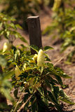 Ivory bell pepper grows in a vegetable garden Royalty Free Stock Photo