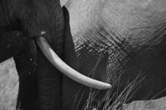 Ivory centerpiece in the Serengeti. royalty free stock image