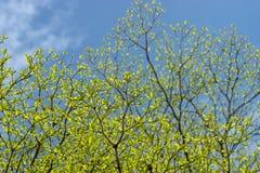 Ivory Coast almond leaves. With blue sky background. Terminalia ivorensis Stock Image