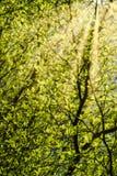 Ivory Coast almond leaves. With sunray. Terminalia ivorensis Stock Photo