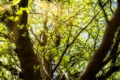 Ivory Coast almond leaves. With sunray. Terminalia ivorensis Royalty Free Stock Photos