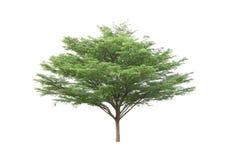 Ivory coast almond tree Stock Photo