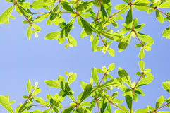 Ivory coast almond tree Royalty Free Stock Photos