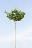 Ivory Coast almond tree with sky Royalty Free Stock Photography