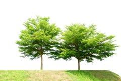 Ivory coast almond tree on white background. (Terminalia ivorens Royalty Free Stock Photos
