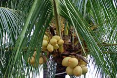 Kind of ivory coconut on a tree stock photos