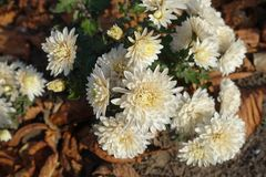 Ivory flower heads of Chrysanthemum in November. Ivory flower heads of Chrysanthemums in November Stock Photo