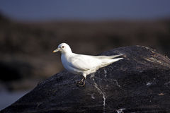 Ivory Gull. On dead sperm whale stock photography