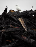 Ivory Gull on top of industrial waste Royalty Free Stock Images