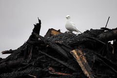 Ivory Gull on top of industrial waste Royalty Free Stock Photography