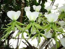 Ivory Orchid Angraecum eburneum. White and green Orchids angraecum eburneum stock images
