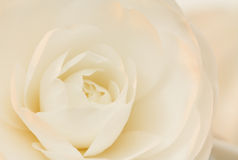 Ivory and rose camellia Stock Photos