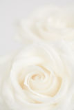 Ivory roses close up Royalty Free Stock Photos