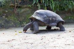 Ivory  tortoise Stock Image