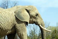Ivory tusks. Big old elephant royalty free stock photos