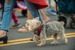 Ivrigt ståta hunden i dräkt på Juli 4th arkivbild