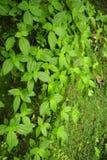 Ivrogne et flore de invitation le long du sentier de randonnée aux cascades de fresque de Viento en Costa Rica photo stock
