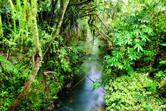 Ivrogne, forêt humide verte Photos stock
