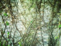 Ivy leaves green on the wall in garden decoration royalty free stock photo