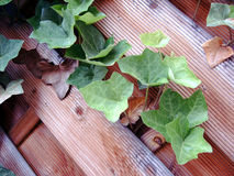 Ivy. Against wooden fence Stock Image