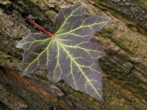 Ivy. Leaf of ivy Royalty Free Stock Images